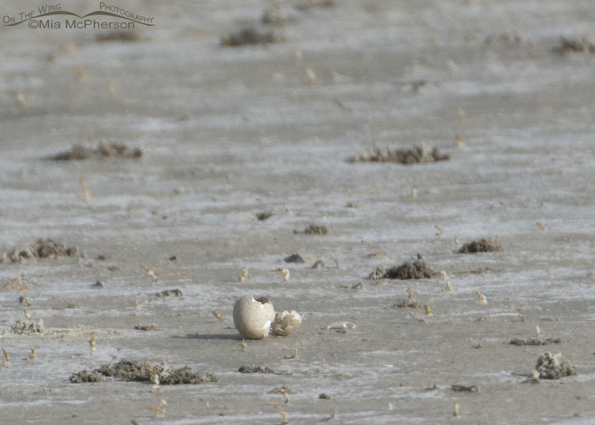 Hatching American Avocet