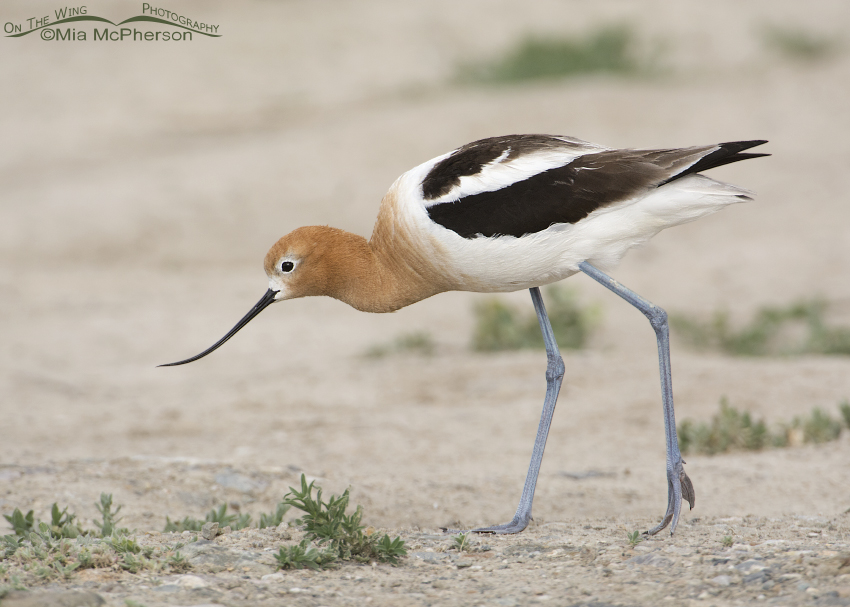 American Avocet adult in low light