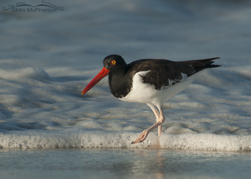 American Oystercatcher in sea foam