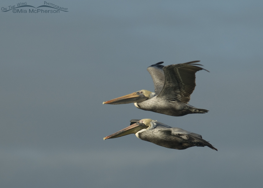 Brown Pelican Double-decker