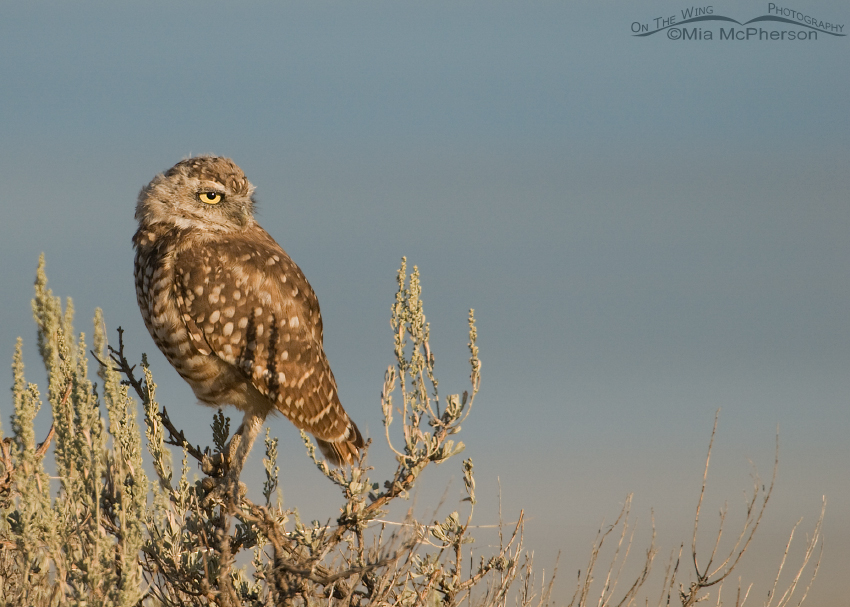 Adult Burrowing Owl and the Great Salt Lake
