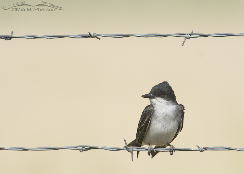 Eastern Kingbird on a wire