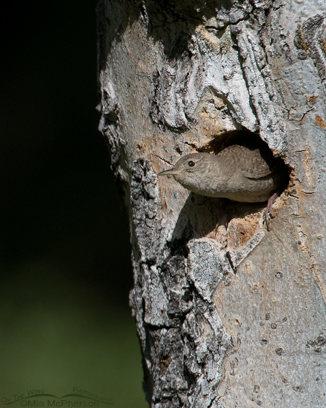 House Wren with its head poking out of the nesting cavity