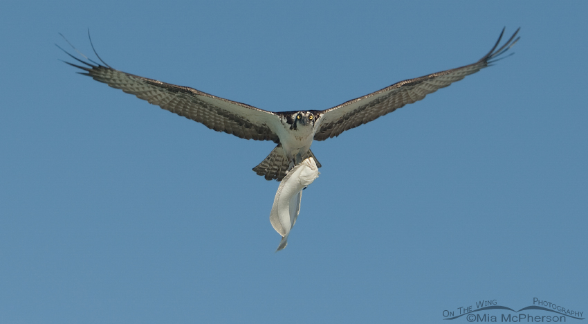 An Osprey with a Flounder over the Gulf