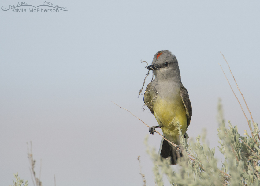 Western Kingbird with nesting material