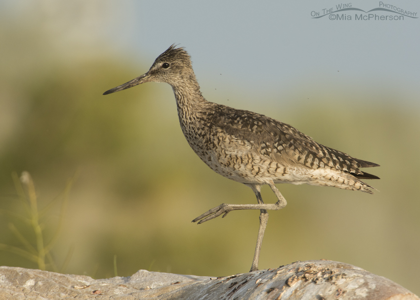 Sun kissed Willet