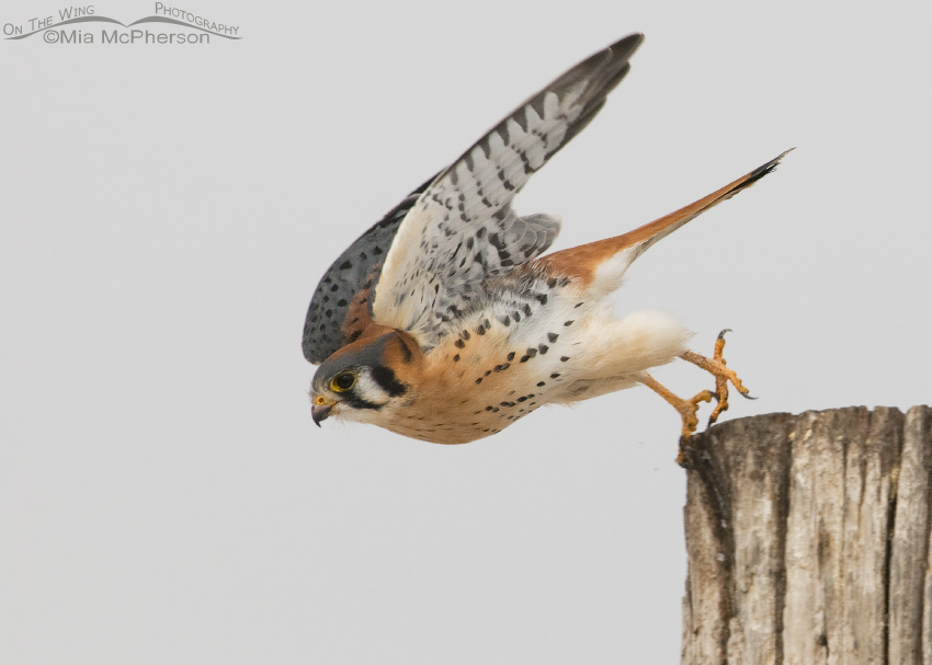 Male American Kestrel lift off