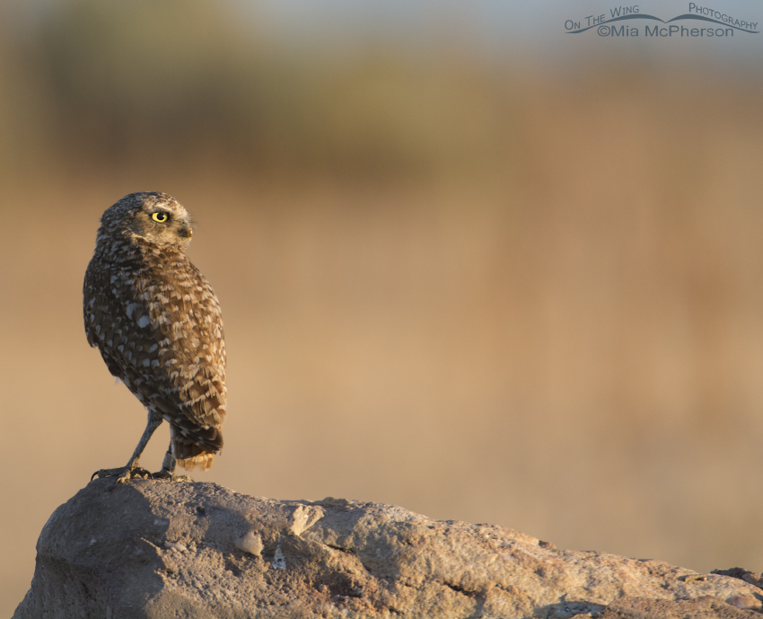 Adult Burrowing Owl at sunrise