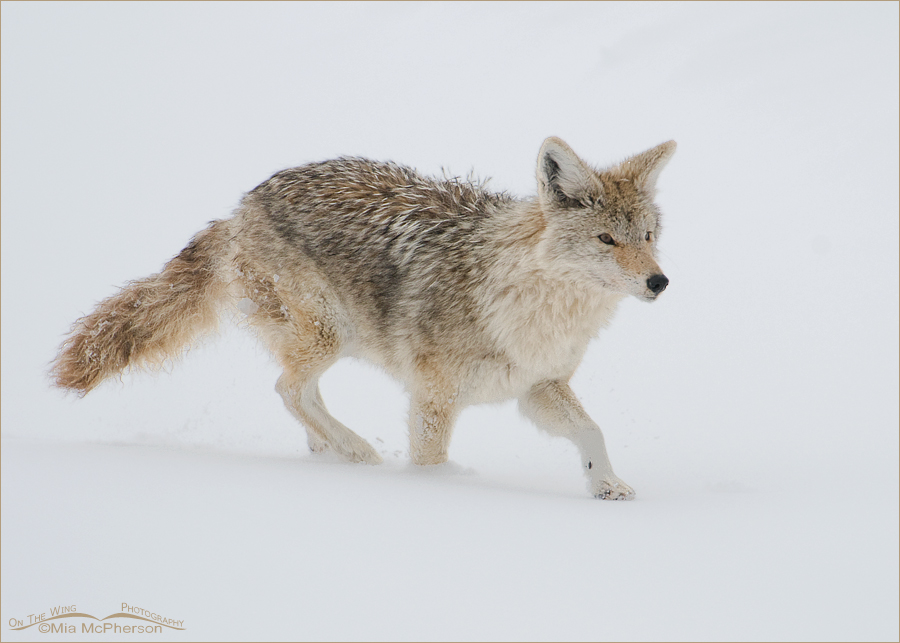 Coyote running across a snow drift