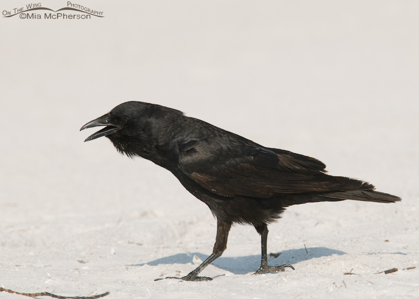 Calling Crow