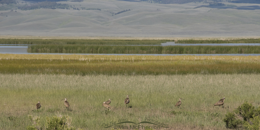 Flock of 7 Long-billed Curlews