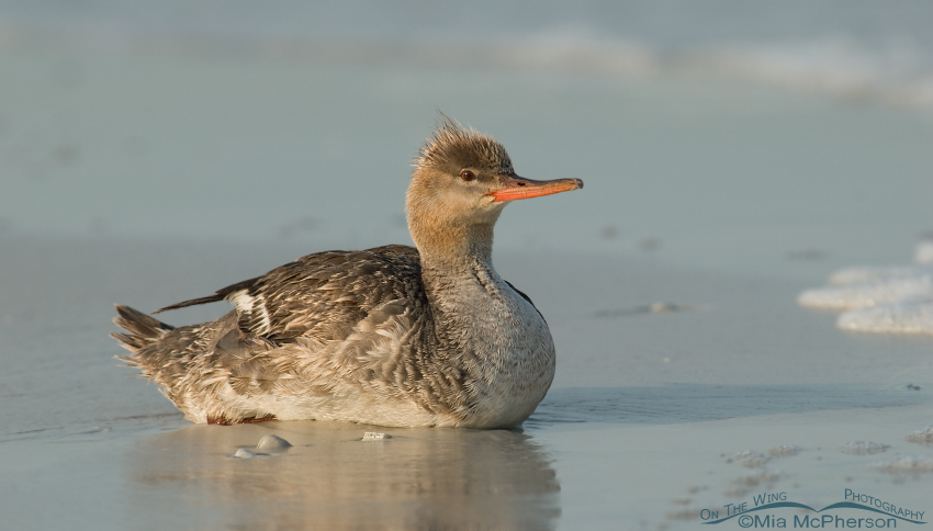 Red-breasted Merganser taking a rest on the Gulf shore
