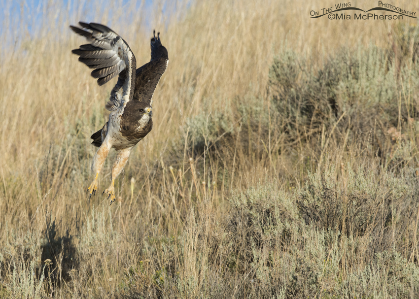 Swainson's Hawk lifting off from a grassy slope