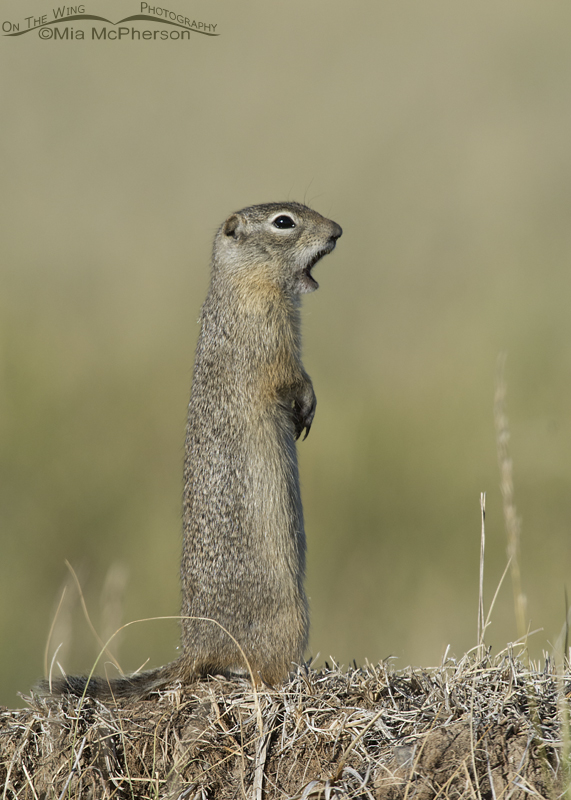 Standing Uinta Ground Squirrel