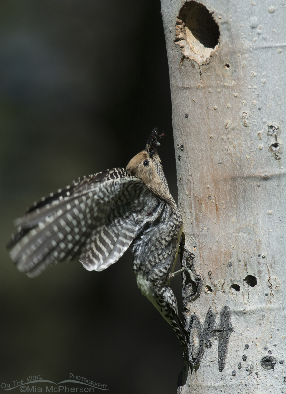 Female Williamson's Sapsucker bringing ants to the nestlings