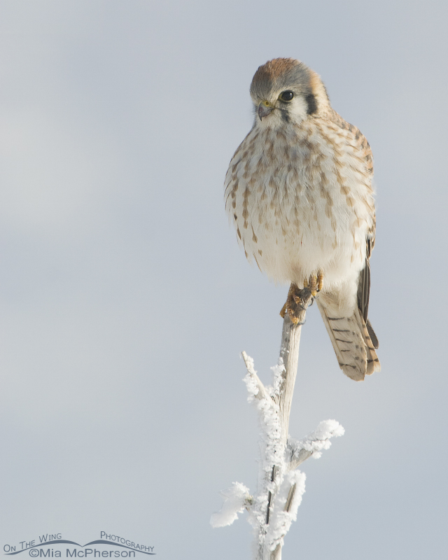 Female American Kestrel on a frosty winter morn