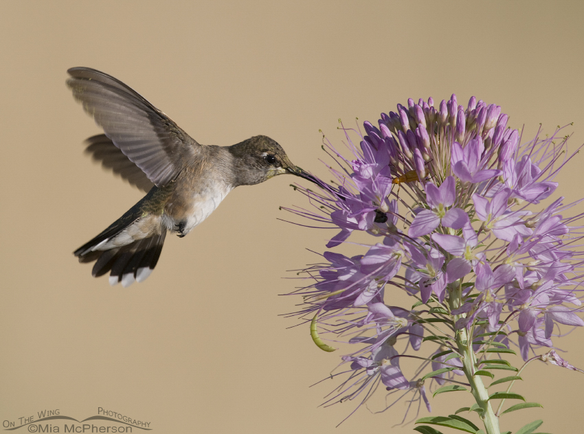 Female Black-chinned Hummingbird feeding