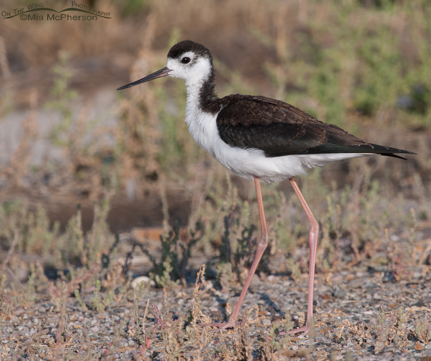 Black-necked Stilt juvenile