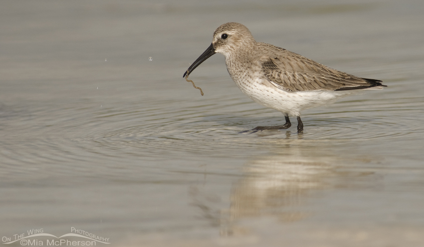 The Dunlin gets the worm