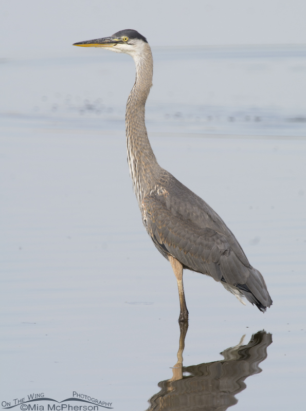 Great Blue Heron in Glover Pond
