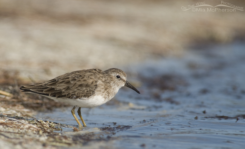 Least Sandpiper at the lagoon's edge