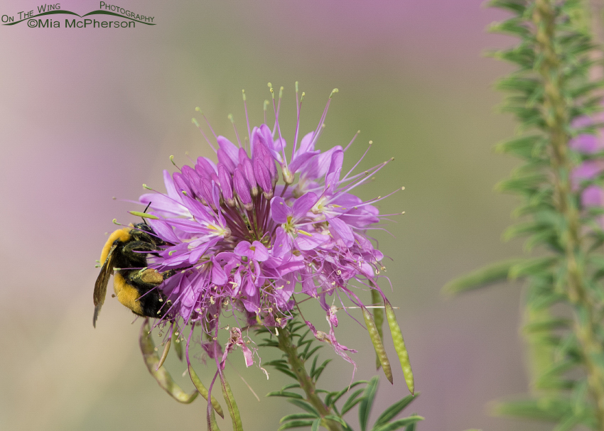 Bumble Bee pollinating a Bee Plant