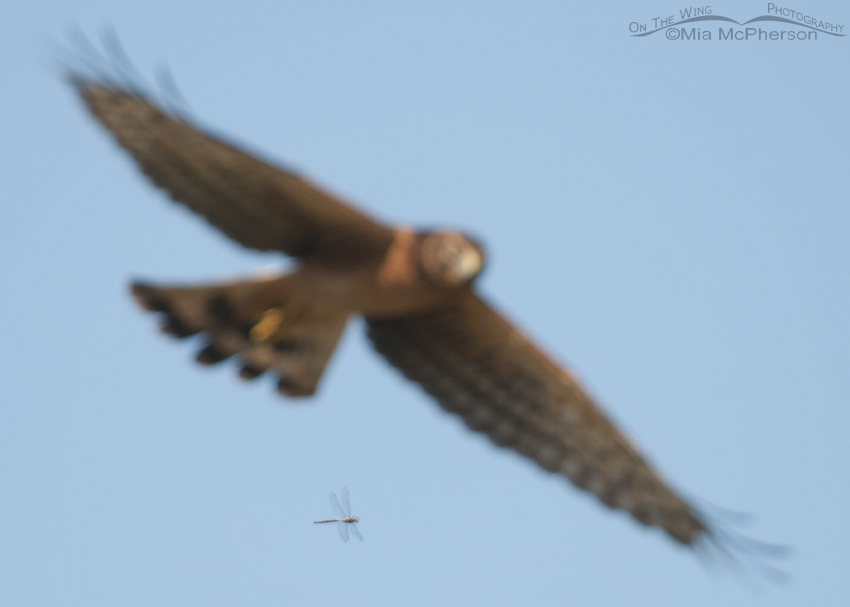 Northern Harrier photobombed by a Dragonfly