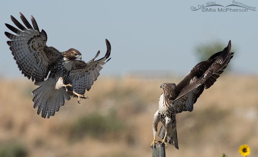 Fighting Red-tailed Hawk juveniles