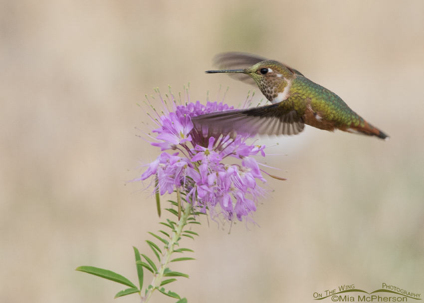 Rufous Hummingbird flying