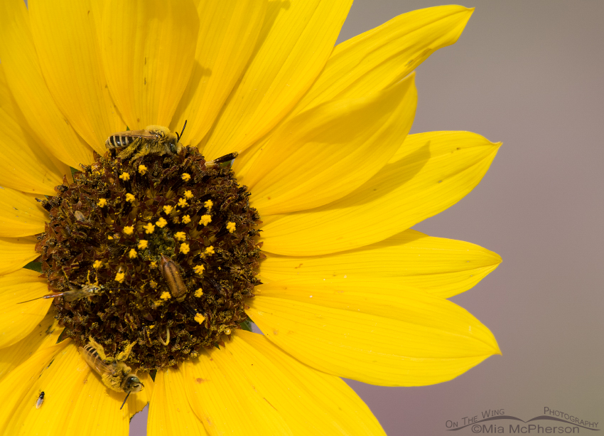 Wild Sunflower and pollinators