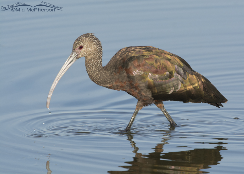 Foraging White-faced Ibis