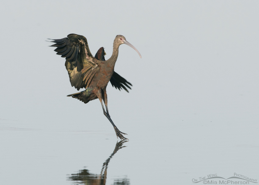 Landing White-faced Ibis