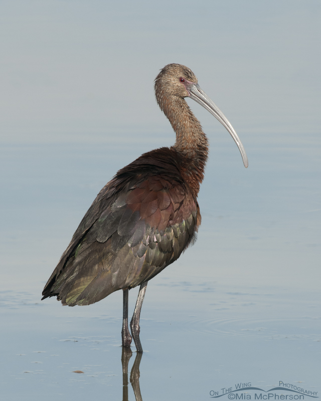 Nonbreeding White-faced Ibis