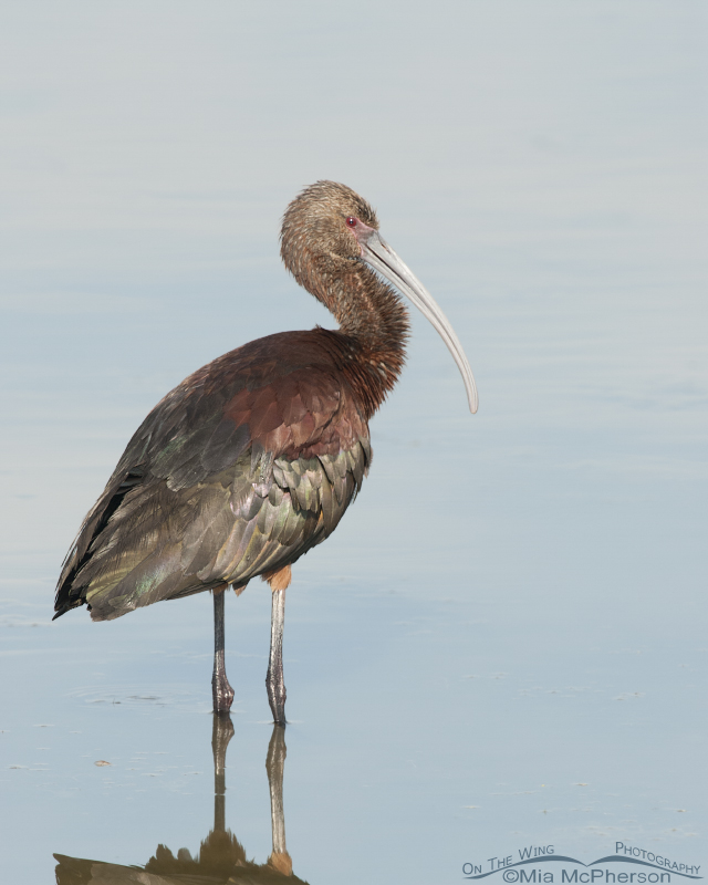 Calm White-faced Ibis