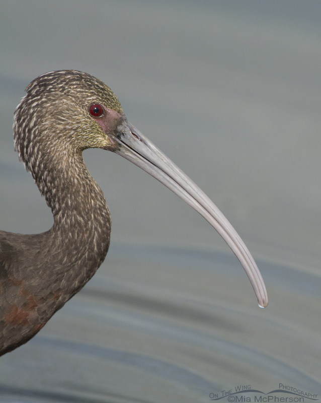 White-faced Ibis portrait