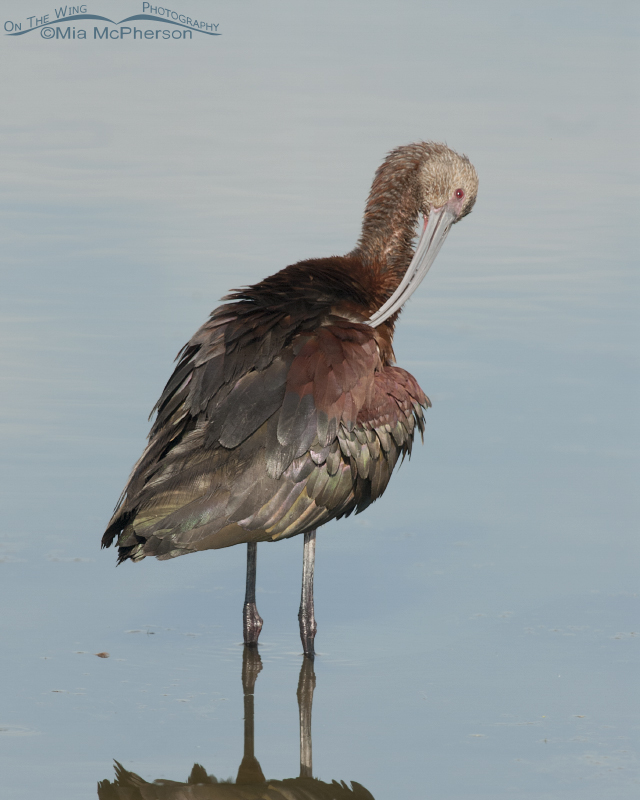 Preening White-faced Ibis