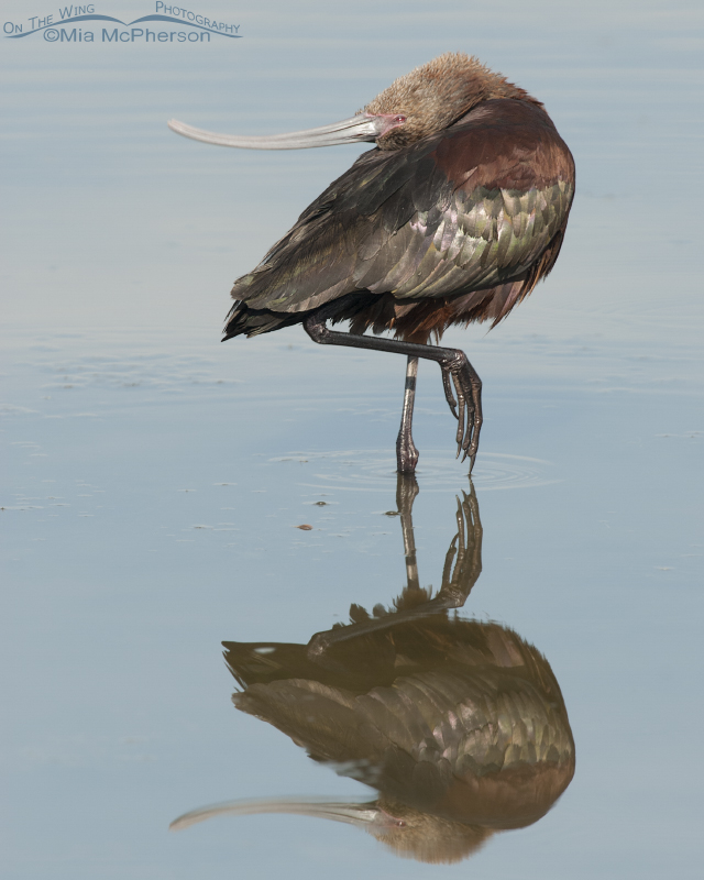 Mirrored White-faced Ibis