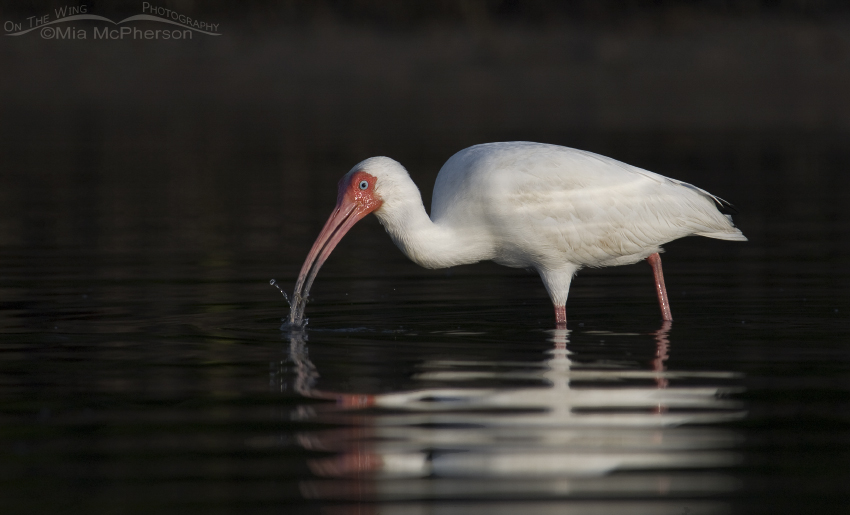 White Ibis feeding with dark mangrove reflections