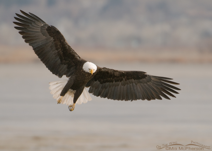 Landing adult Bald Eagle