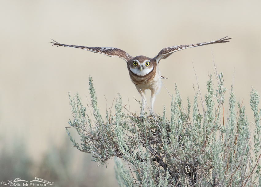 Burrowing Owl juvenile