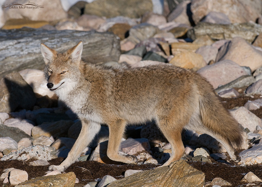 Coyote on the shore of the Great Salt Lake 2