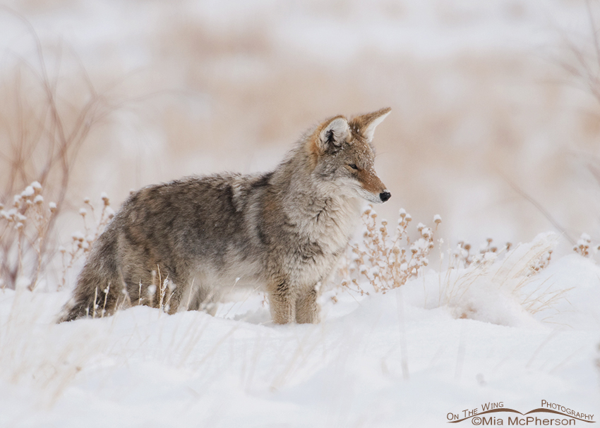 Coyote deep in the snow