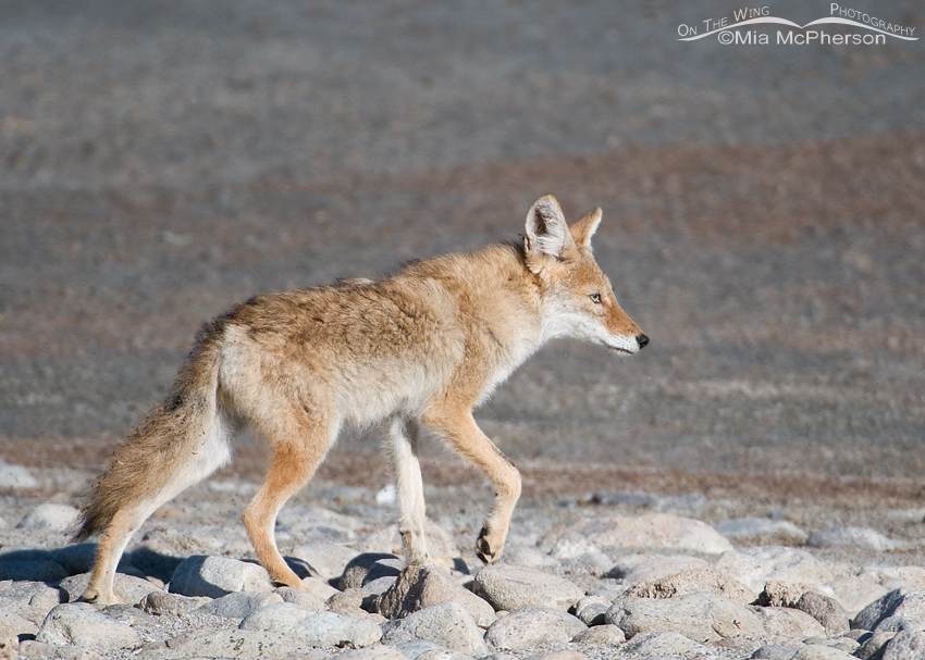 A young Coyote on the edge of the Great Salt Lake