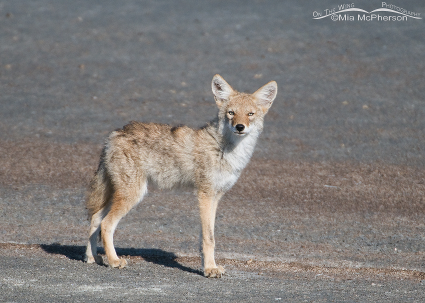 Young Coyote and its pale eyes