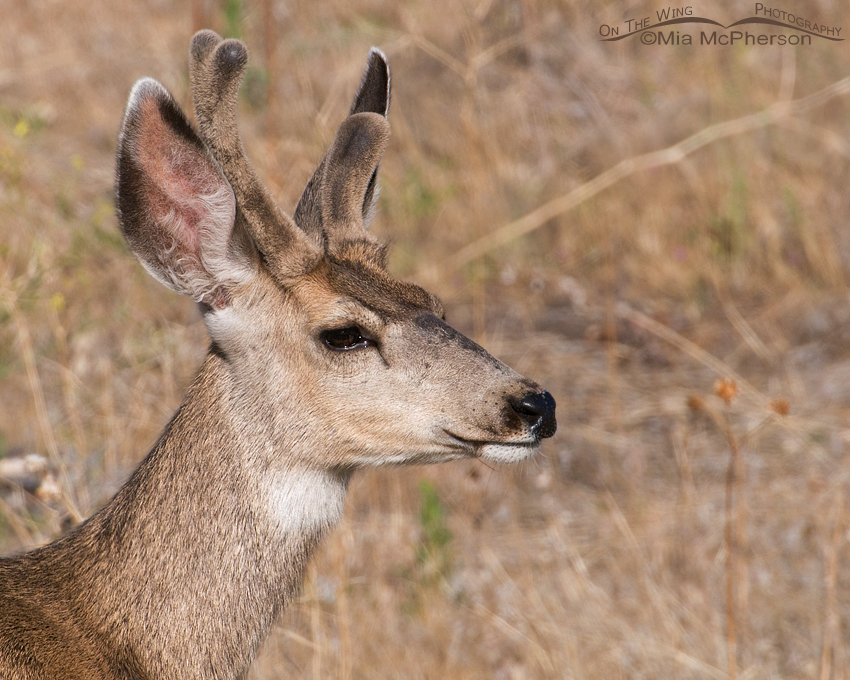 Atypical Mule Deer buck
