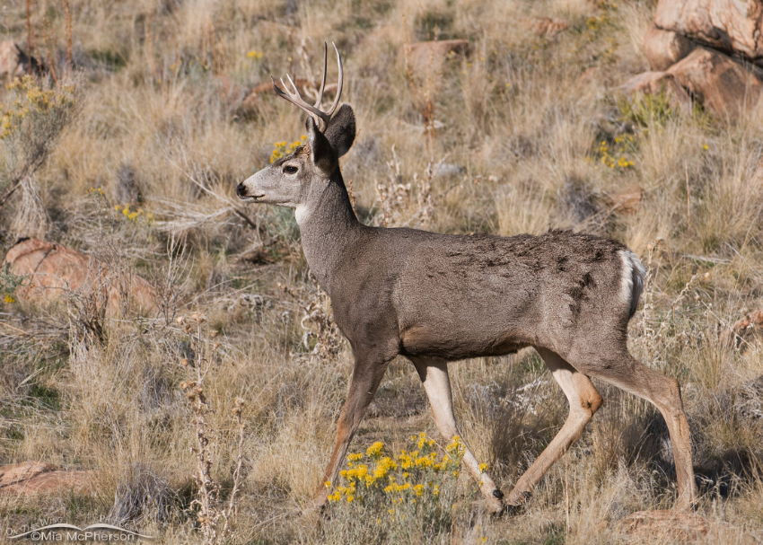 Muley on a rocky hillside
