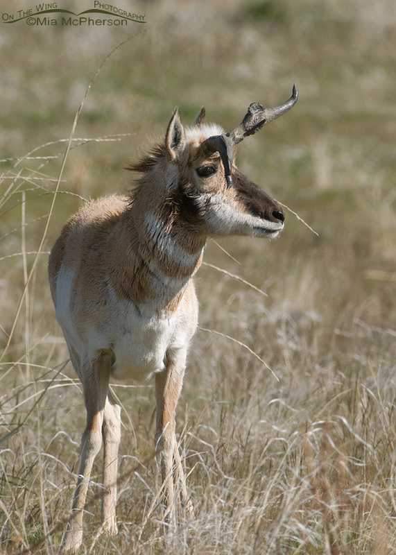 Pronghorn buck with misshapen horns