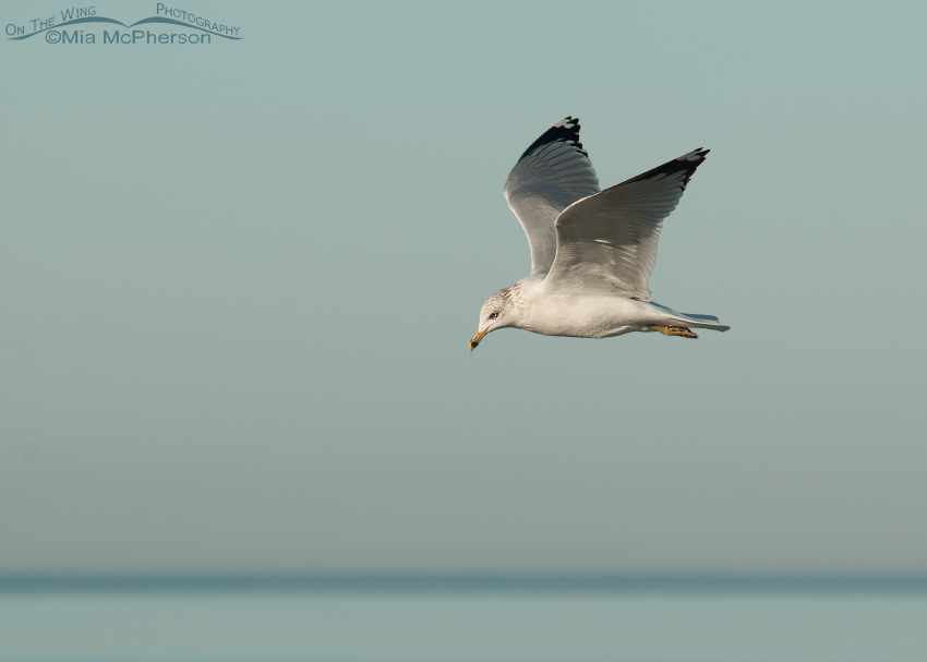Ring-billed Gull in flight over the Gulf
