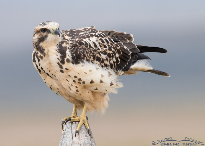Light morph Swainson's Hawk juvenile with its eyes on the sky