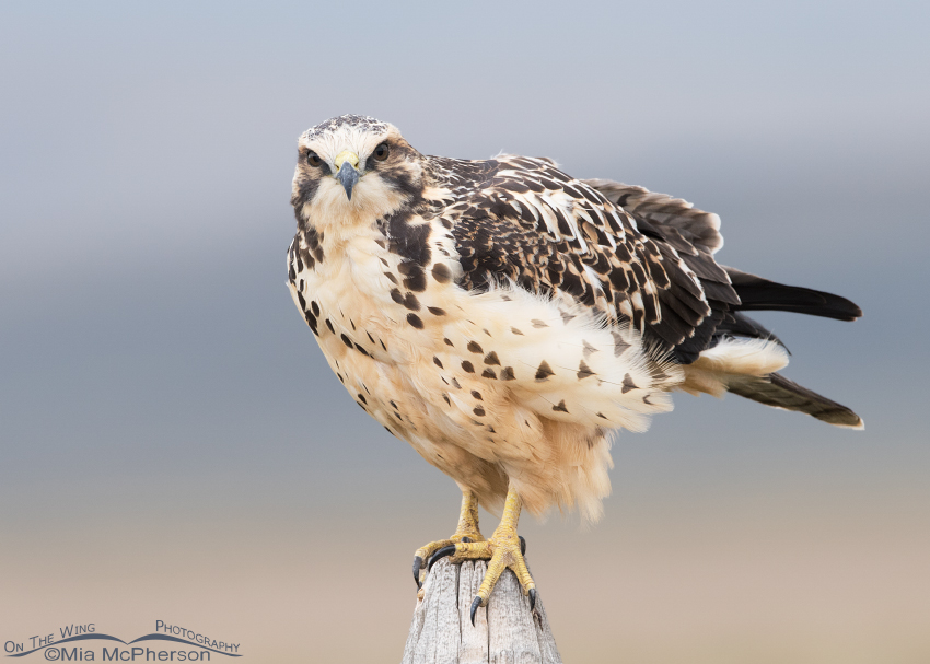 Head on stare from a light morph juvenile Swainson's Hawk